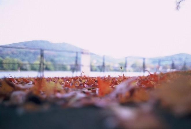 Rote Herbstblätter, Laub auf dem Radweg am Rheinufer