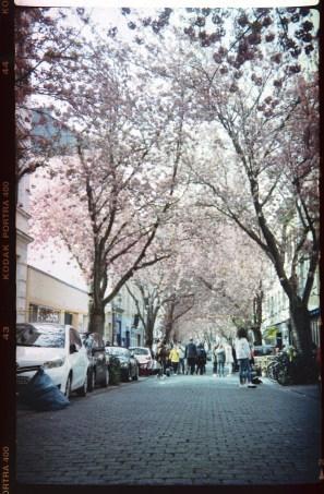 Kirschblüte Bonn - Mit antiker Kodak Klappkamera auf 120er Rollfilm