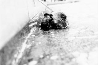 Ein Mops kühlt sich im Wasser