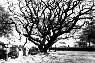 Baum in den Lal Bagh Botanical Gardens in Bangalore