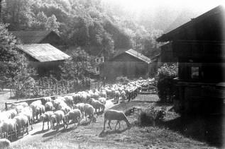 Früh Morgens zieht eine große Schafherde durch das Dorf hoch auf die Alm