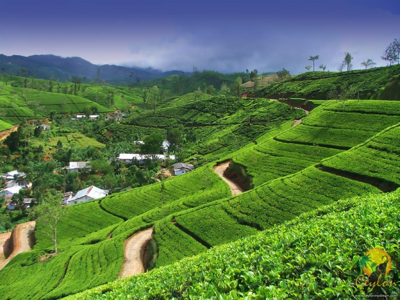 CEYLON-TEA-PLANTATION