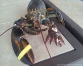 Sixclawed-lobster-caught-off-Massachusetts