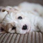 Cavachon Dogs 101 Lovetoknow