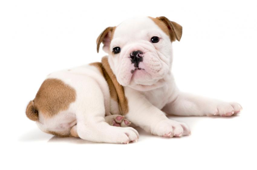 Puppy Wallpapers   LoveToKnow Gold and white Bulldog pup wallpaper image