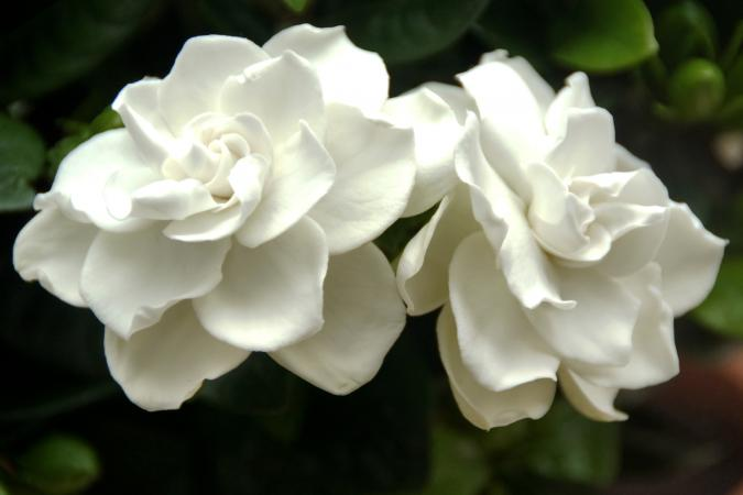 blooming gardenias