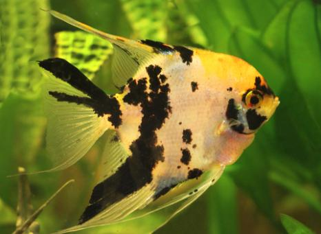 Gold marble angelfish; copyright Gelia at Dreamstime.com