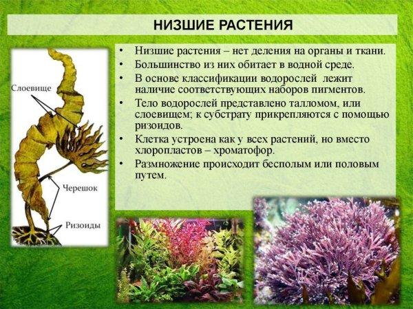 Царство Растения. Низшие растения - презентация онлайн