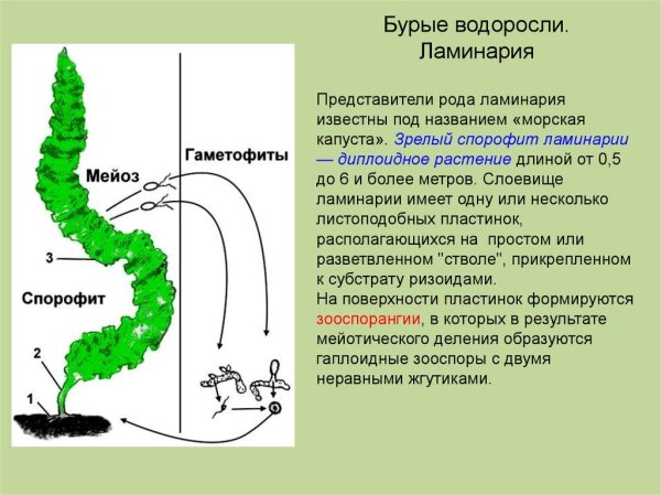 Низшие растения водоросли - презентация онлайн