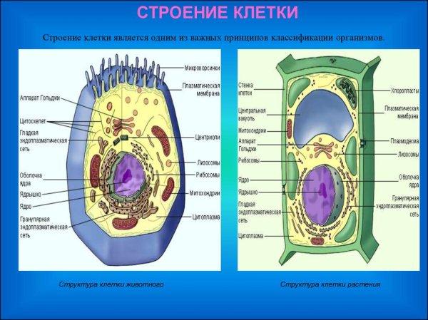 Клеточная теория Строение клетки презентация онлайн