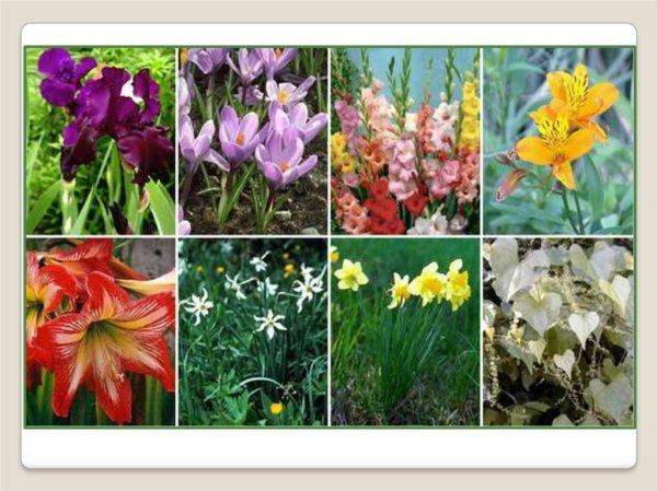Однодольные растения. Лилейные - презентация онлайн
