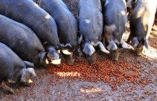 acorn-fed pigs2