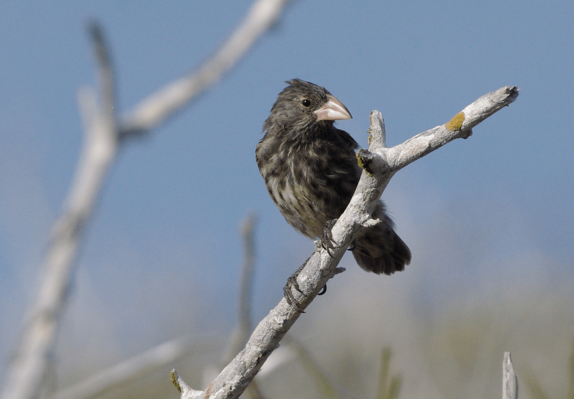 Where Did Darwin S Finches First Originate Earth