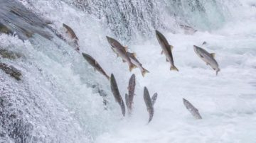 Researchers have identified four Pacific salmon populations in California, Oregon, and Idaho that are particularly vulnerable to climate change.
