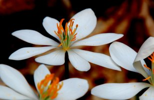 Bloodroot (Sanguinaria canadensis) at Lee Falls, SC