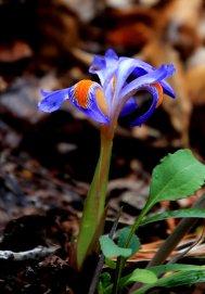 Lee Falls Dwarf Iris