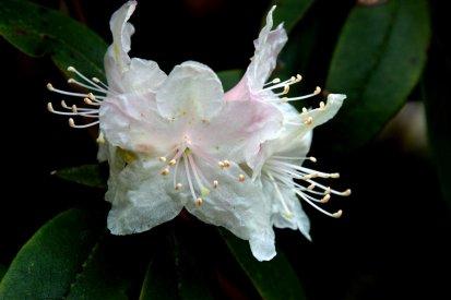 Carolina rhododendron (Rhododendron minus)