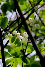 Carolina silverbell (Halesia carolina)
