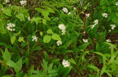 Speckled Wood Lily (Clintonia umbellulata)