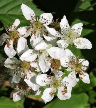 Flowering berry