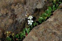 Winefeaf cinquefoil (Sibbaldiopsis tridentata)