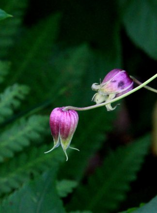 Vasevine (Clematis viorna) also known as Leatherflower