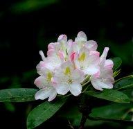 Rosebay rhododendron (Rhododendron maximum)