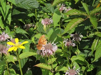 Monarda and butterfly