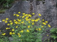 Possibly Green-headed Coneflowers (Rudbeckia laciniata)