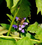 Probably Self Heal; Heal All (Prunella vulgaris)