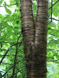 Probably Yellow birch (Betula alleghaniensis)