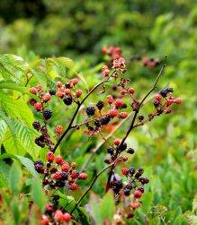 Blackberries too!