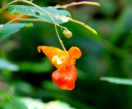 Spotted Jewelweed (Impatiens capensis)
