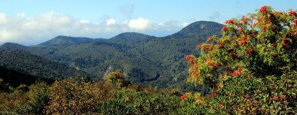 Mountain Ash (Sorbus americana)