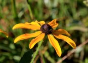 Probably a Rudbeckia