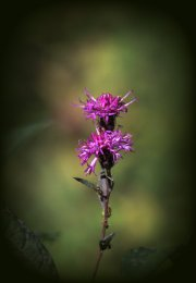Possibly New York Ironweed