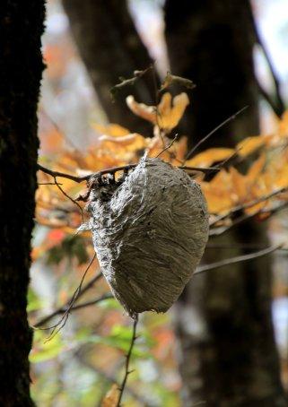 Nice hornet's nest