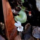 Probably Sweet White Violet (Viola blanda)