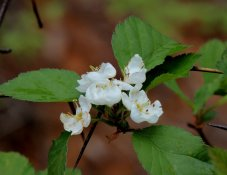 Probably a Hawthorn (Crataegus)