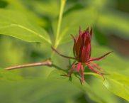 Sweet Shrub (Calycanthus floridus)