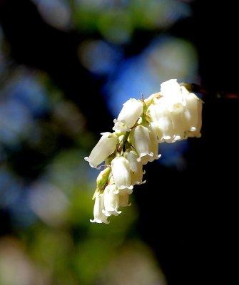 Possibly Mountain Fetterbush (Eubotrys recurva)