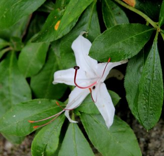 Possibly Sweet azalea