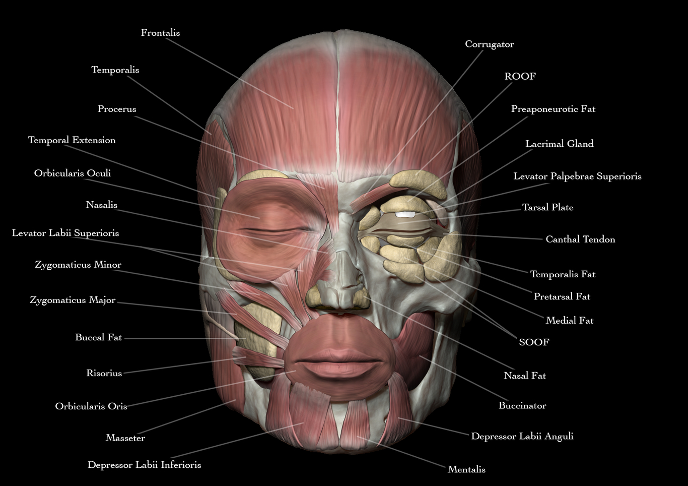 Face Anatomy By Josuevilela