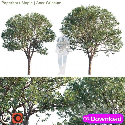 Download  Paperbark Maple | Acer Griseum # 2 Free
