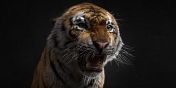 Siberian tiger by Aritz Basauri