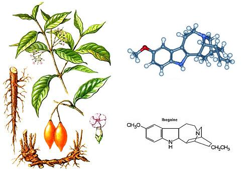 ibogaine iboga plant
