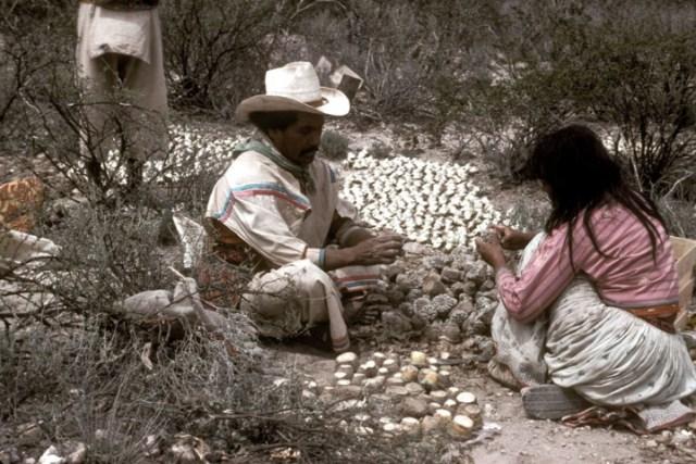 Huichols drying peyote to be used as medicine.