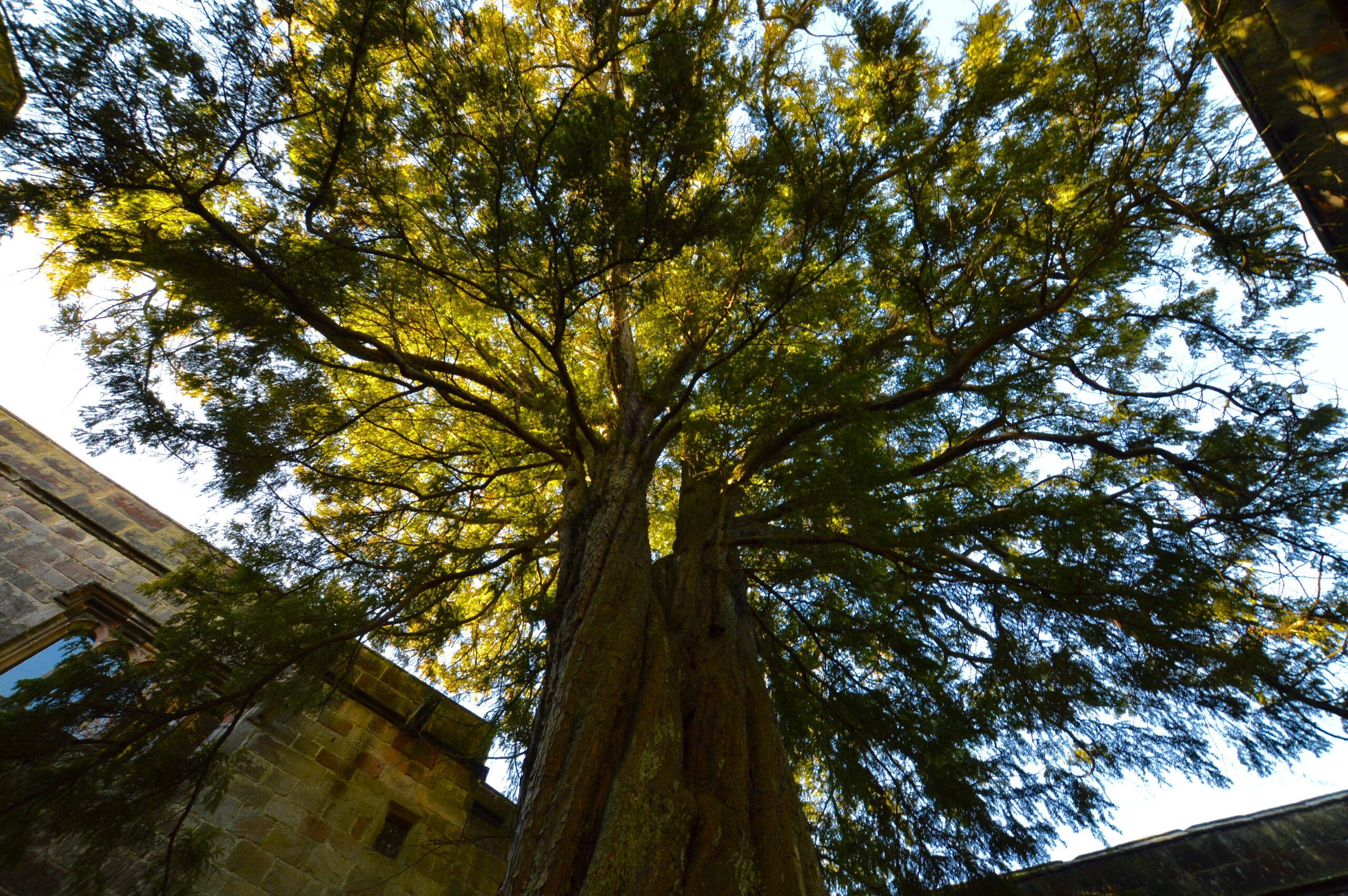 Yew Tree at Skipton Castle