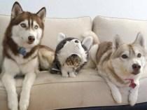 best-damn-photos-cat-wannabe-husky