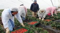 مطلوب عمال و عاملات موسميين للعمل في إقليم ويلبا بإسبانيا مع توفير السكن والنقل